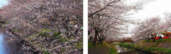 201603_sakura_02g.jpg