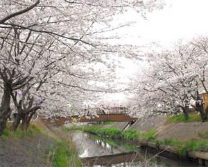 sakura_ebigawa.jpg