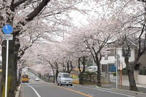 sakura_nakayamakeiba.jpg